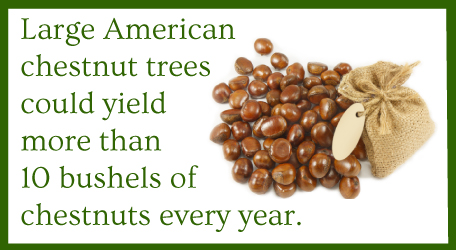 American chestnut trees offer 10 bushels of chestnuts per year